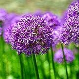 Maritown Purpurrotes riesiges Lauch für das Wachsen, seltene Giganteum-Blumen-Pflanzen für Hauptfarm-Hinterhof-Garten-Balkon 50 Samen