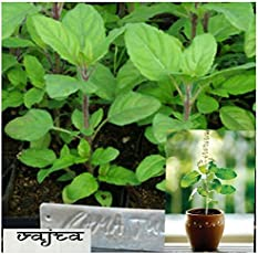 Natural garden plants Rama Tulsi Holy Basil Seeds - Pack of 100