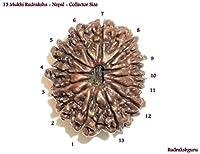 13 Mukhi Rudraksh / Thirteen Face Rudraksha - Nepal - Collector Size - Lab Certified