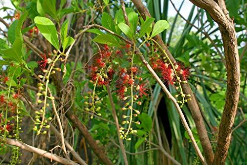 barringtonia acutangula 10Samen Indisches Eiche Süßwasser Mangroven seltene Samen Thai