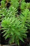 Myriophyllum aquaticum - Papageienfeder