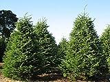 GETSO Samen-Paket Nicht Pflanzen: 400 Samen: Balsam-Tanne, Balsam-Tanne, Samen (Fragrant Hardy Evergreen, Bonsai)