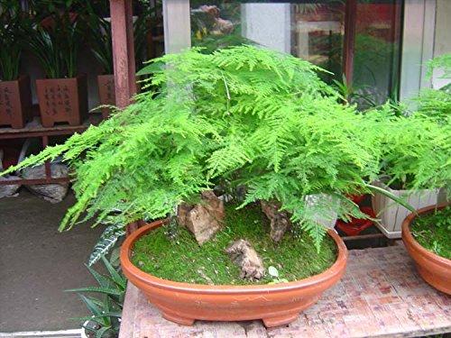luftreinigungs-phonix-bambus-samen-lounges-zimmerpflanzen-blumen-50-korn-miniascape