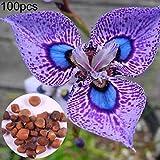 Kimilike Iris Germanica Samen, 100 StüCke Blume Iris Germanica Samen Zierpflanze Hausgarten Hof BüRo Decor, Germanica Freundliche Blumensamen, Germanica Samen Und MehrjäHrige