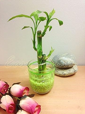 1Lucky Bamboo dans un vase en verre cylindrique avec tiges Gravier [3]