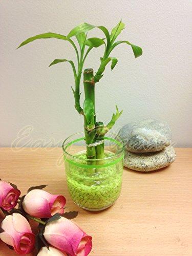 1-lucky-bamboo-dans-un-vase-en-verre-cylindrique-avec-tiges-gravier-3