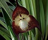 Orchid Monkey Face Dark Purple - Affengesicht Orchidee dunkelviolett - 20 Samen