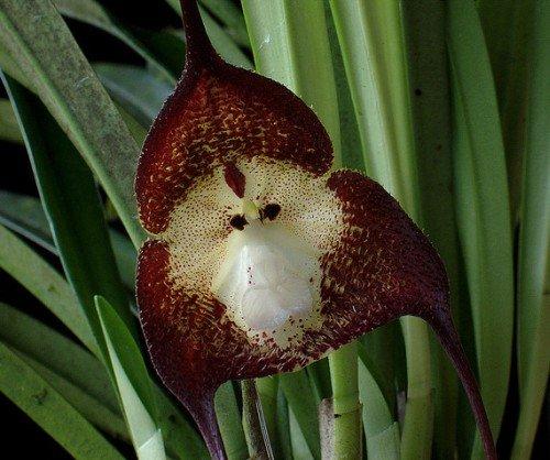 Orquídea cara de mono de color púrpura oscuro - Orchid Monkey Face Dark Purple - 20 semillas