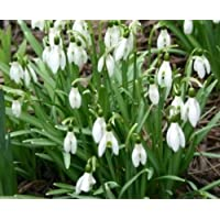 "100 Snowdrop Bulbs""Galanthus Nivalis"". Free UK P&P"