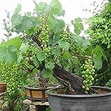 PlenTree Raisins verts Graines Bonsai Pot nain Fruit jardin Accrobranches croissance rapide Variété - 5pcs / Lot...