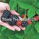 SANHOC Le Piante di gelso Bonsai Dolce Black Berry giganti Miracolo Frutta pianta Tohum Rare Albero Bonsai Garden Bush Giardino Domestico di DIY 100 Pz: 8