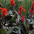Canna Samen - 50 Samen Indisches Blumenrohr Mehrere Farben Wunderschön Blumen Gartendekoration von Wekold bei Du und dein Garten