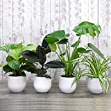 Evergreen Indoor House Plants Collection Containing Swiss Cheese, Spider, Indian Rubber & Prayer Plants, an Easy to Grow Jungle Collection x 4 House Plants by Thompson and Morgan