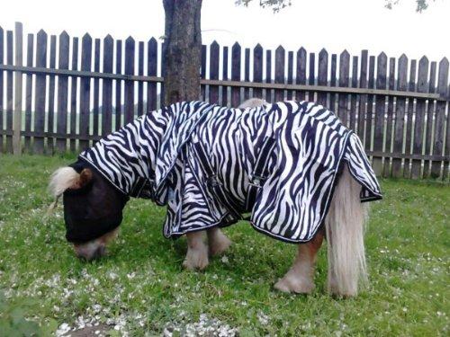 Fliegendecke Zebra Minishetty Mnipony Shetty Falabella Decke 65 70 75 80 85 90 cm (80 cm)