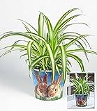 BALDUR-Garten Chlorophytum