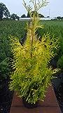 gelber Lebensbaum Thuja occidentalis Sunkist 50-60 cm hoch im 5 Liter Pflanzcontainer