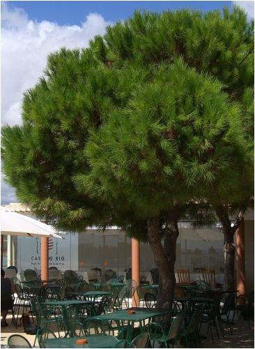 Seedeo Mittelmeer - Pinie (Pinus pinea) 7 Samen