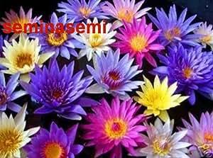"10-SEMI DI NINFEA IN MIX DI COLORI ""Nymphaea Lotus"