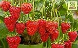 Liveseeds - Erdbeeren-köstlich- 'Versuchung' Korb Typ 30 Feinste Samen-Frucht Garten