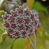 20 pc / sacchetto Semi di Hoya, palla di orchidee semi di fiori pianta perenne Hoya carnosa, semi di orchidee rare, piante in vaso bonsai per giardino di casa 12