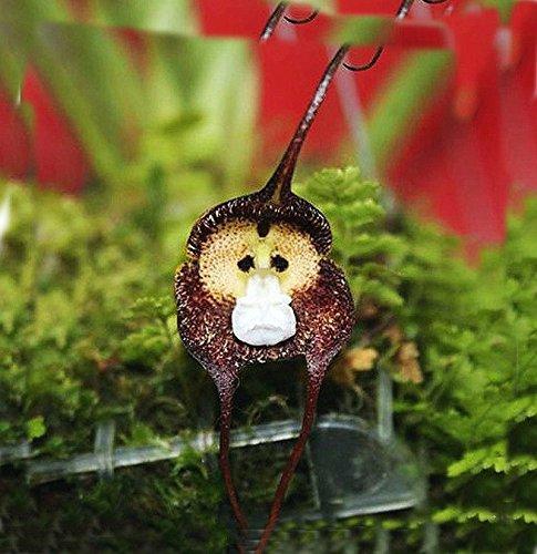 9 tipos preciosas semillas Semillas lindo maceta Perú la cara del mono de la orquídea Phalaenopsis Superior Orchis Bonsai Plantas raros de la flor púrpura