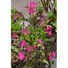 Saatgut Primula acaulis Primel Riesen-Selekta Mischung Chrestensen AR8495