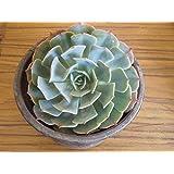 Cappl Succulents Echeveria Elegence Live Plant (Mexican Snowball)