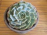 #7: CAPPL Succulents Echeveria Elegence Live Plant (Mexican Snowball)