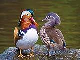 Best Duck Posters - Athah Designs Mandarin Duck Birds Matte Finish Wall Review