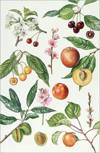 Posterlounge Alubild 100 x 150 cm: Krischen und andere Früchte tragende Bäume von Elizabeth Rice/Bridgeman Images