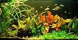 Wasserflora Unterwasser-Landschaft Lotuswelt für ein 60 Liter Aquarium