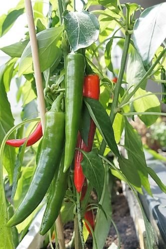 25 KOREAN vert foncé PIMENT Chili long Rouge Capsicum annuum Seeds