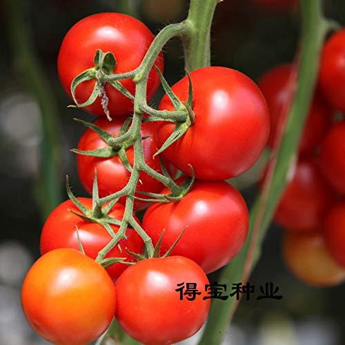 Pinkdose Perle légumes Petite Tomate bonsaï Rouge Cerise Fruit Fruits Tomate Cerise bonsaïs en Pot 100pcs