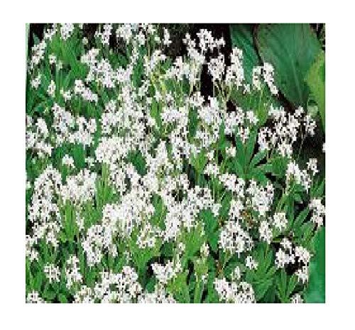 90x Maikraut (Waldmeister) Samen Garten Blumen Pflanze Saatgut K78