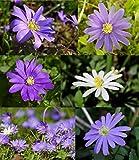 Anemonen Blumenzwiebeln Blanda Mischung Frühblüher Anemone Blumen Mix weiß lila