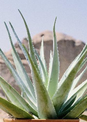 Tropica - Sukkulenten - Aloe vera (Aloe vera) - 10 Samen