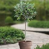 Hochstämmiger Olivenbaum - 1 baum