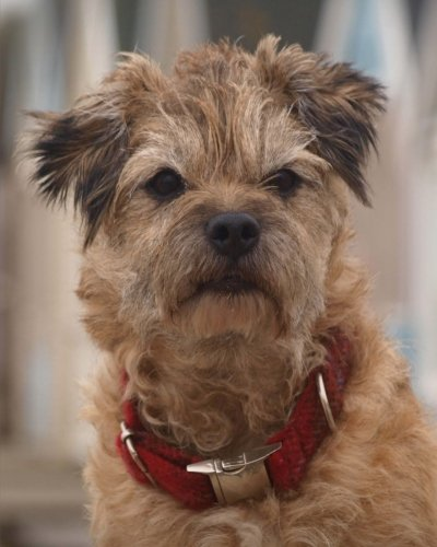 Daily Organizer and Planner: Border Terrier: 180 Day 8