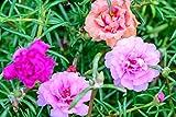 Portulakröschen 200 Samen Tropical Mix, Portulaca - Voll gefüllte Blüten
