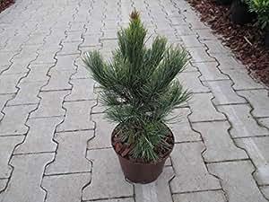 Kompakte Säulen-Zirbelkiefer Arve - Pinus cembra - Pillar - schmaler Wuchs - 25-30 cm