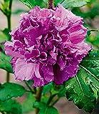 """BALDUR-Garten Freiland-Hibiskus""""French Cabaret"""" Purple, 1 Pflanze Hibiscus gefüllte Blüten winterhart"""