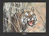 1art1 5486 National Geographic - Tiger, Malaysia Poster