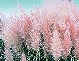 Portal Cool Sie wählen & Amp; Sie wählen: Pampas-Gras Auswahl an Farben Weiß, Lila, Gelb, Rosa, Rot ca. 250 Seeds