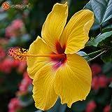 I semi di fiori di ibisco gigante Garden Home in vaso piante di fiori di ibisco Gombo Bonsai Seed 50 Particelle / lot