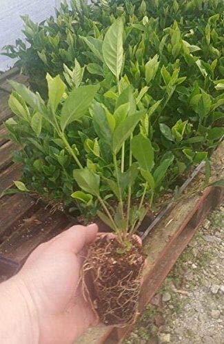 FERRY Bio-Saatgut Nicht nur Pflanzen: Summer Snow Gardenia - Hardy auf 0 Grad - sehr aromatisch - Starter Stecker LG -