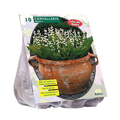 Convallaria Majalis 10 Stück Maiglöckchen Blumenzwiebel