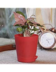 Ugaoo Syngonium Pink Neon Indoor Plant With Pot