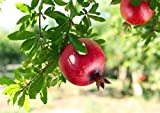 #5: Nelesa Gardening Live Pomegranate Fruit Plant Punica Granatum Plant