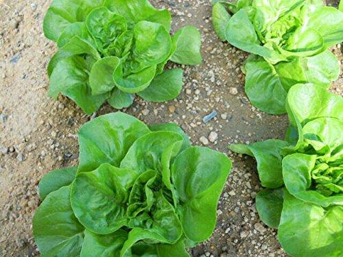 bateau libre 200 graines de laitue italien bon goût, facile à cultiver, grand choix de salades, de légumes Accueil bricolage