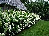 comprar 20 pcs semillas Hydrangea paniculata 'vainilla Fraise' fresa de hortensia semillas de flores bonsai semillas de plantas en maceta para el jardín de la casa blanca ahora, nuevo 2020-2019 éxito de ventas, revisión y Foto, mejor precio EUR 7,56